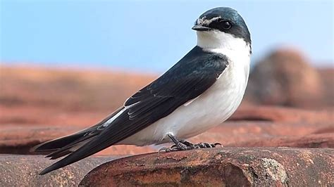 fauna brasileira ANDORINHA animais brazilian vida selvagem ...