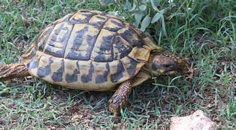 Fauna from Menorca: the Mediterranean tortoise | GOB Menorca
