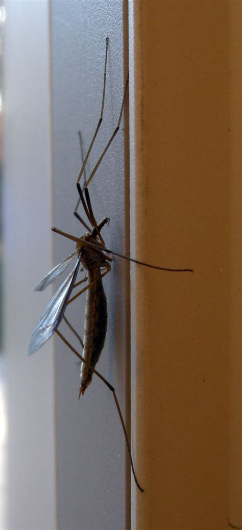 FAUNARIUM: Los  mosquitos gigantes