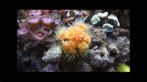 Feeding Dendros  Dendrophyllia  in HD   YouTube