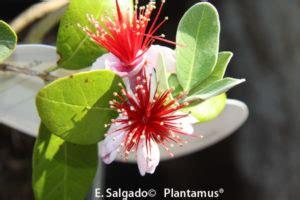 Feijoas en Oferta. Comprar plantas online para toda España