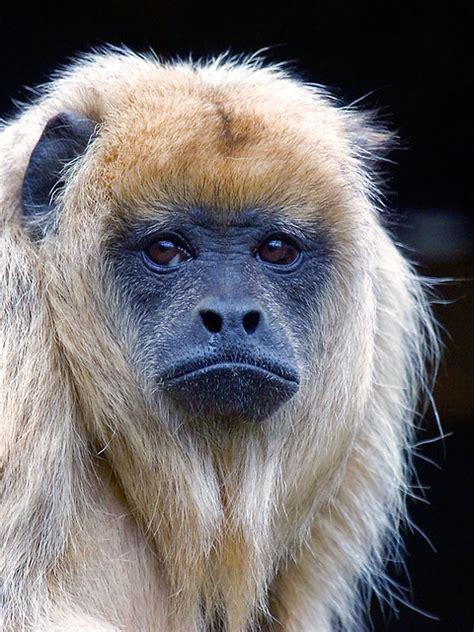Female Black Howler Monkey   a photo on Flickriver
