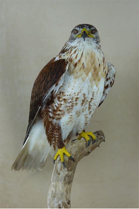 Ferruginous Buzzard   Buteo regalis   UK Bird Small Mammal ...