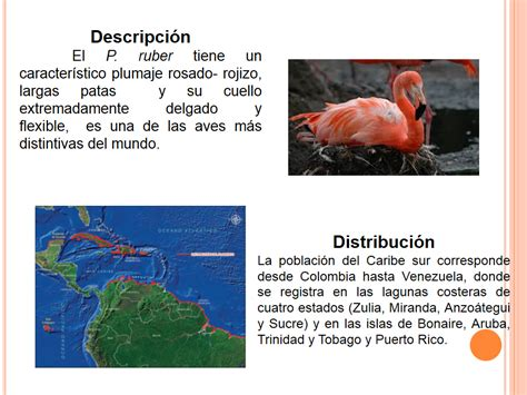 Ficha de dos Especies [Parte dos]: Flamenco Rosado — Steemit