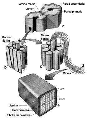 Figura 1. Representación esquemática de la pared celular ...