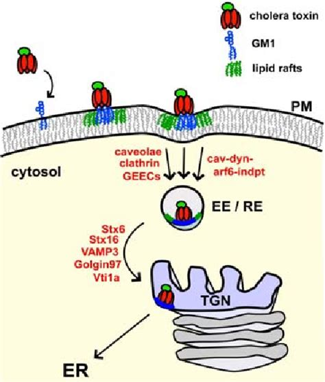 Figure 3 from Cholera Toxin: An Intracellular Journey into ...