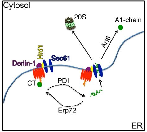 Figure 4 from Cholera Toxin: An Intracellular Journey into ...