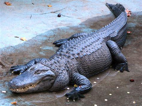 File:Alligator Muja, Belgrade Zoo.jpg   Wikimedia Commons