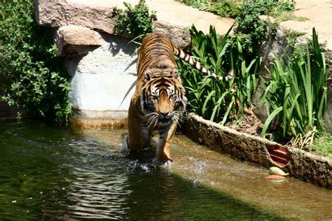 File:Barcelona.Zoologico.Tigre.jpg   Wikimedia Commons