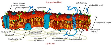 File:Cell membrane detailed diagram en.svg   Wikimedia Commons
