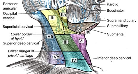 File:Cervical lymph nodes and levels.png   Wikimedia Commons