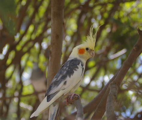 File:Cockatiel  Nymphicus hollandicus  perched in a tree.jpg