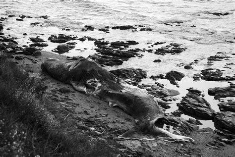 File:Dead Sperm whale  1 .jpg   Wikimedia Commons
