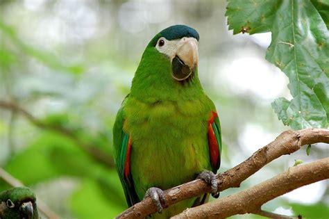 File:Diopsittaca nobilis  Parque das Aves, Foz do Iguacu ...