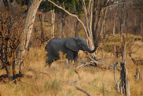 File:Elephant in Moremi Game Reserve   Botswana ...