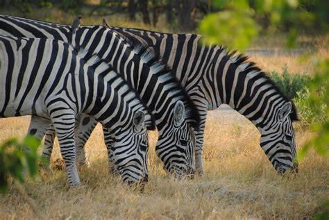 File:Equus quagga in Moremi Game Reserve, Botswana,  12 ...
