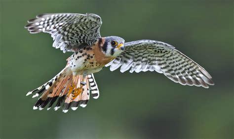 File:Falco sparverius  Canadian Raptor Conservancy, Canada ...