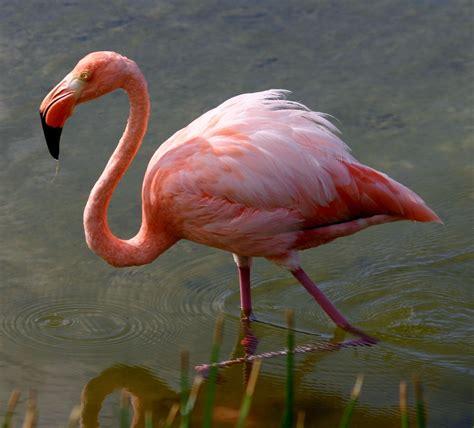 File:Greater flamingo galapagos.JPG