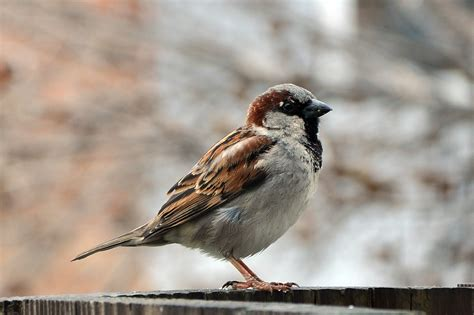 File:House Sparrow Male  Passer Domesticus .jpg ...