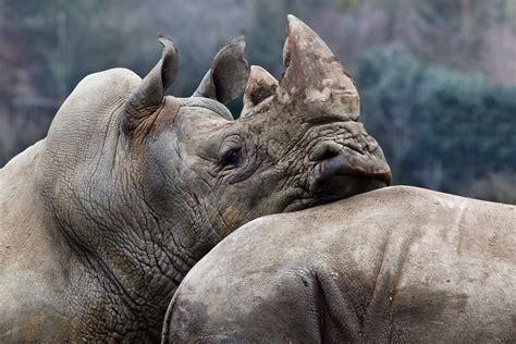 File:Le repos du guerrier, Zoo de Beauval, 2012.jpg ...