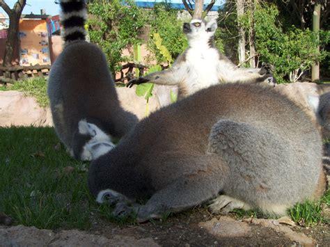 File:Lemurs in Bioparc Fuengirola.jpg   Wikimedia Commons