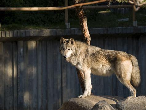 File:Lobo en el Zoo de Madrid 01.jpg   Wikimedia Commons