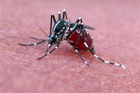 File:Mosquito feeding.jpg   Wikimedia Commons