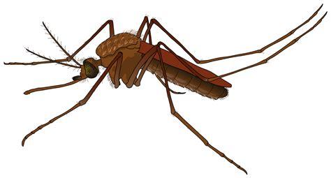 File:Mosquito female.svg   Wikipedia