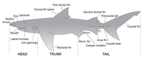 File:Parts of a shark.svg   Wikimedia Commons