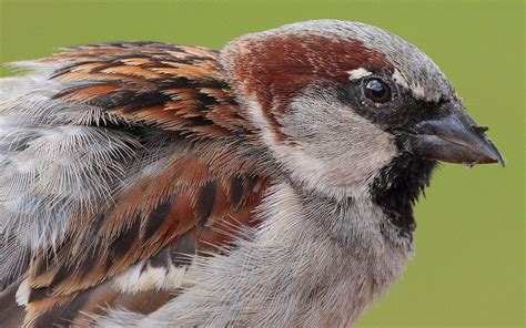 File:Passer domesticus male head and plumage  Germany ...