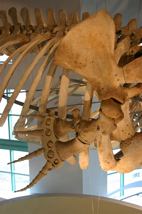 File:Physeter macrocephalus skeleton  2 .jpg   Wikimedia ...