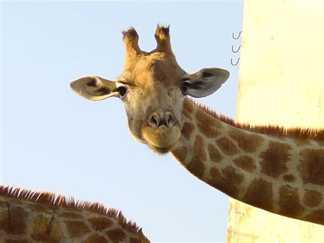 File:Portugal lisbon zoo giraffe 00.jpg