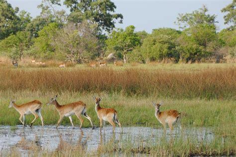 File:Reedbucks in Moremi Game Reserve   Botswana ...