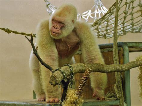 File:Snowflake   Barcelona Zoo White Gorilla2.jpg ...