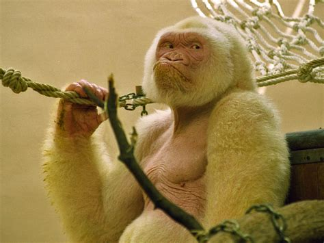 File:Snowflake   Barcelona Zoo White Gorilla3.jpg ...