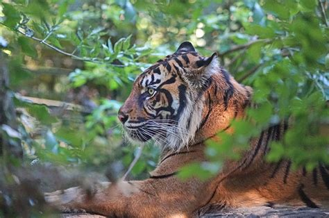 File:Tigre de Sumatra  Zoo Parc de Beauval, France ...