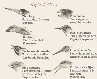 File:Tipos de Picos.jpg   Wikimedia Commons