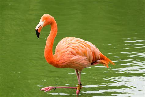 File:ZSL Whipsnade   Rosy Flamingo 01.jpg   Wikimedia Commons