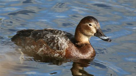Finland: hunting restricted for three duck species, but ...