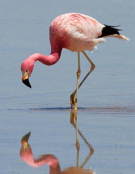 Flamenco andino  Phoenicoparrus andinus . Es un ave de la ...