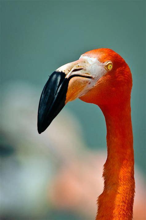 Flamenco Bird Photograph by Copyright Antoni Torres