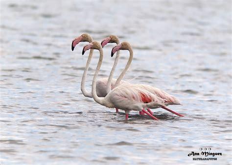 Flamenco común/Greater Flamingo | Animales, Naturaleza