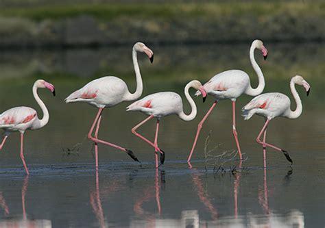 Flamenco común   SEO/BirdLife