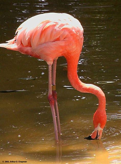 Flamenco del Caribe o flamenco rojo  Phoenicopterus ruber ...