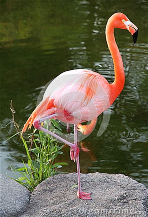 Flamenco Rojo Americano. Pájaro Agraciado. Fotografía de ...