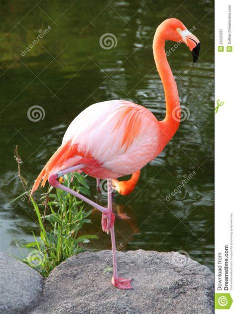 Flamenco Rojo Americano. Pájaro Agraciado. Imagen de ...