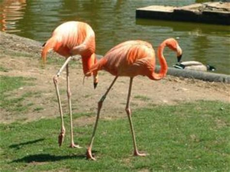 Flamenco rosa | Animalandia.