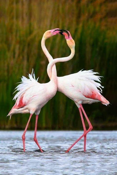 Flamenco rosa o común:Todo lo que debes saber de esta ...
