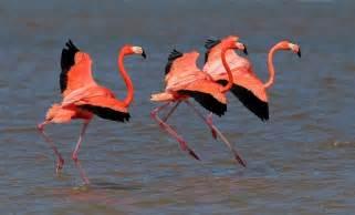 Flamenco rosado  Phoenicopterus ruber  American Flamingo ...