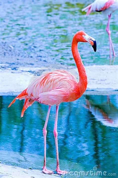 Flamenco Rosado | Розовые фламинго, Фламинго и Животные